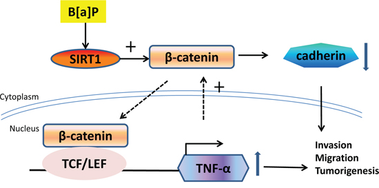 The proposed scheme depicts the roles of SIRT1 in B[a]P-induced inflammation and tumorigenesis.