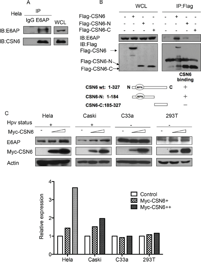 CSN6 interacts with E6AP in vivo and causes E6AP stabilization.