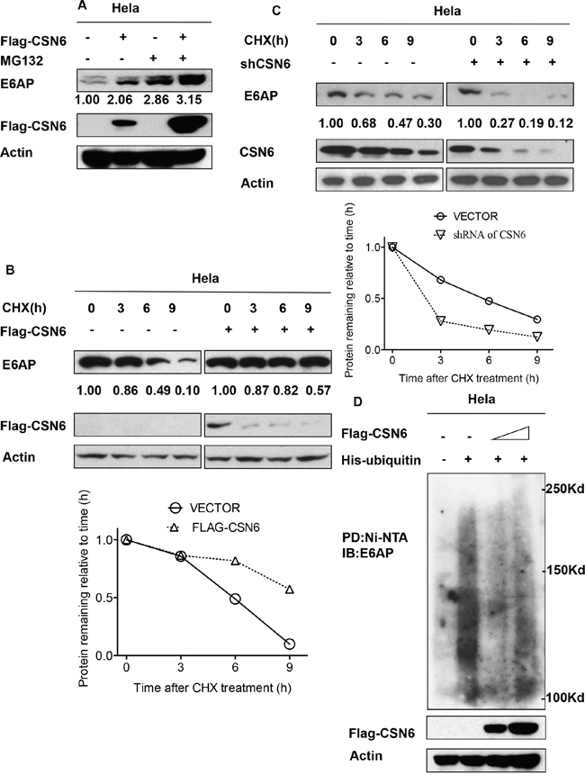 CSN6 increases E6AP stability by reducing E6AP poly-ubiquitination.