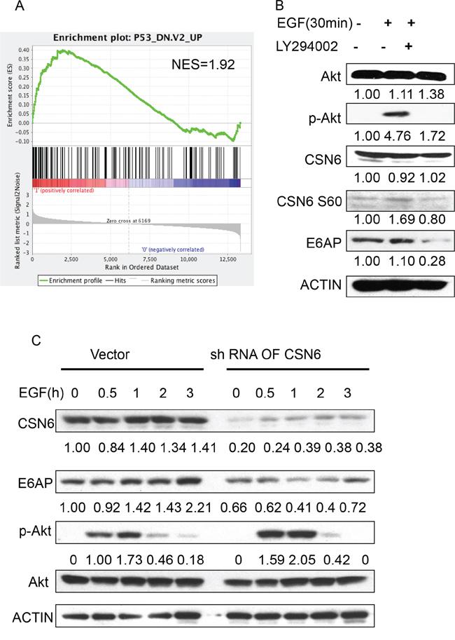 EGF-Akt signaling regulates CSN6 and E6AP stability.