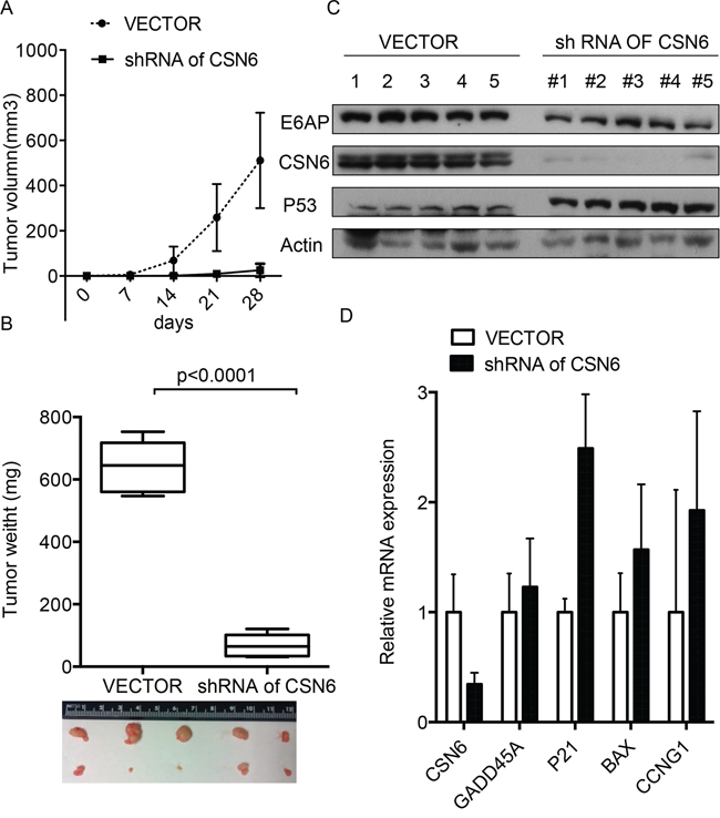 Inhibition of CSN6-E6AP axis inhibits cervical cancer growth in mice.