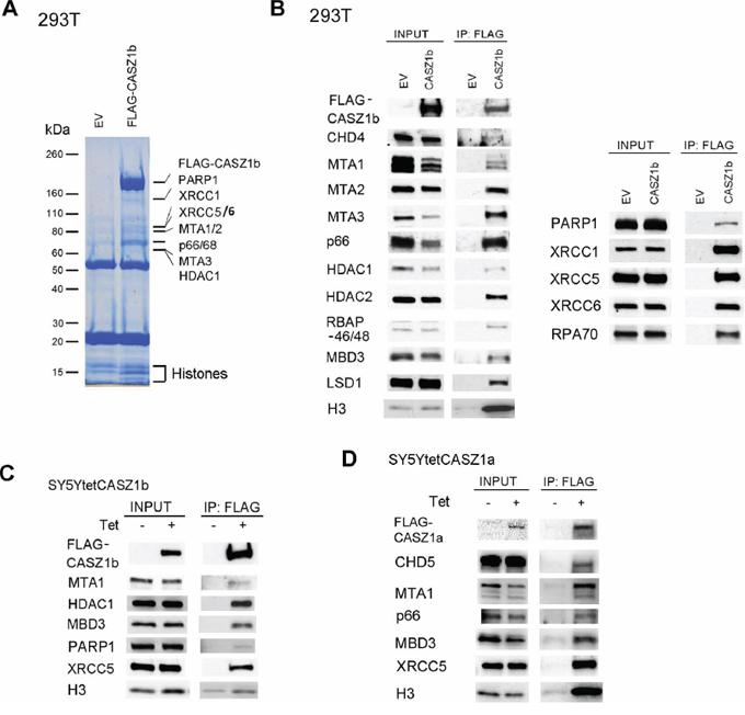 Identification of CASZ1b protein partners.
