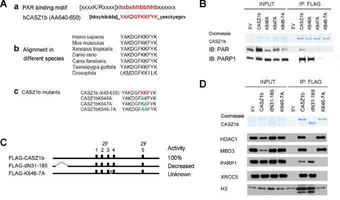 Putative poly-ADP-ribose (PAR) binding motif of CASZ1b is required for DNA repair proteins and histone H3 binding but not for NuRD subunits binding.