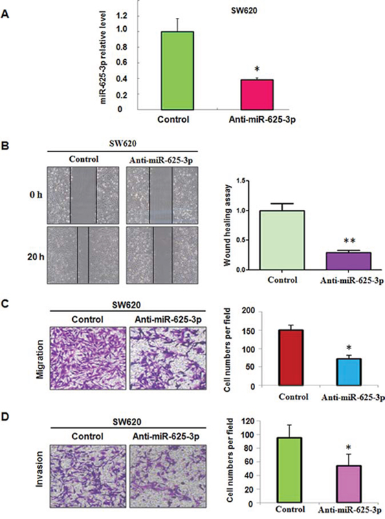 Down-regulation of miR-625-3p inhibited cell migration and invasion in SW620 cells.