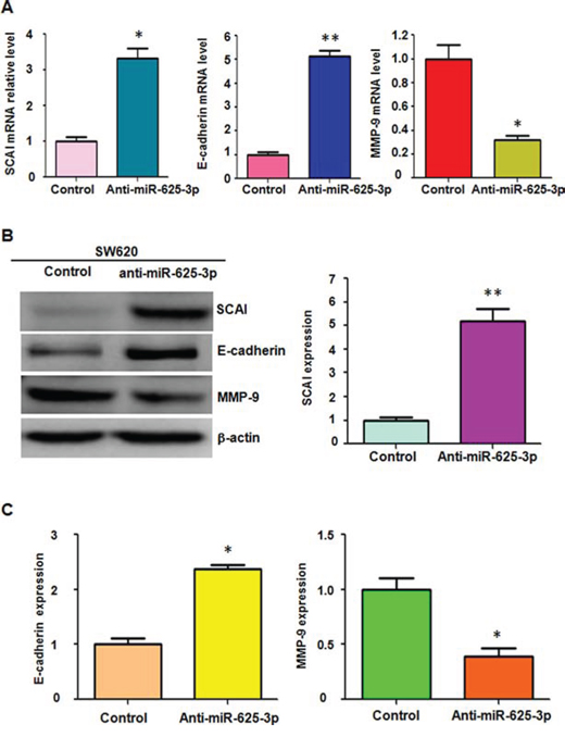 Down-regulation of miR-625-3p increased SCAI expression.
