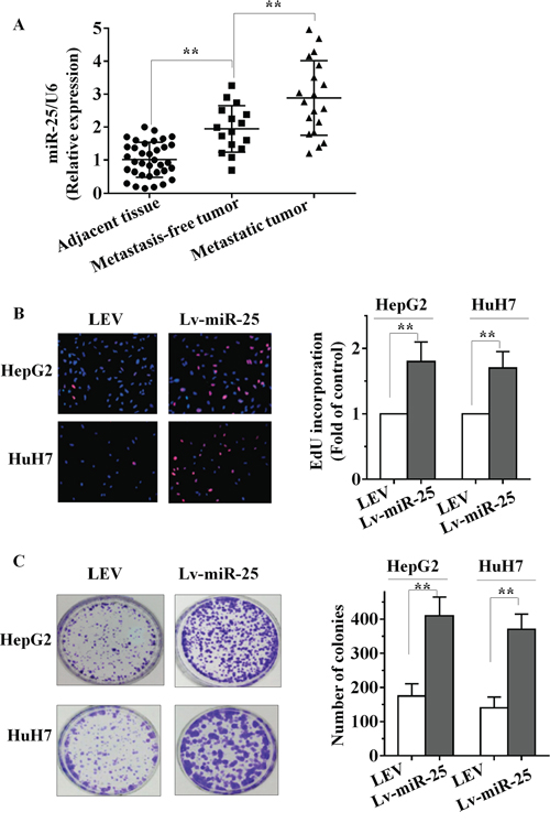 miR-25 is upregulated in HCC tissues and promotes HCC cell growth in vitro.