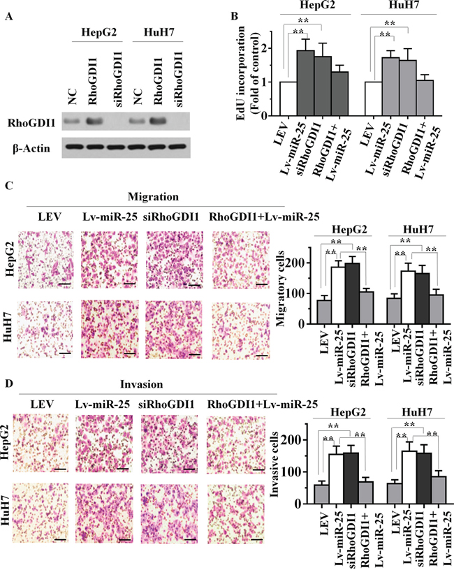 miR-25 overexpression and RhoGDI1 inhibition produce similar changes, which are restored by RhoGDI1 ectopic expression in vitro.