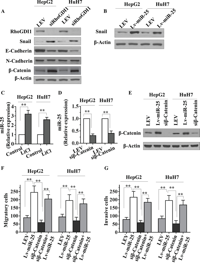 miR-25 inhibits RhoGDI1 and is activated by WNT/β-catenin signaling in HCC cells.