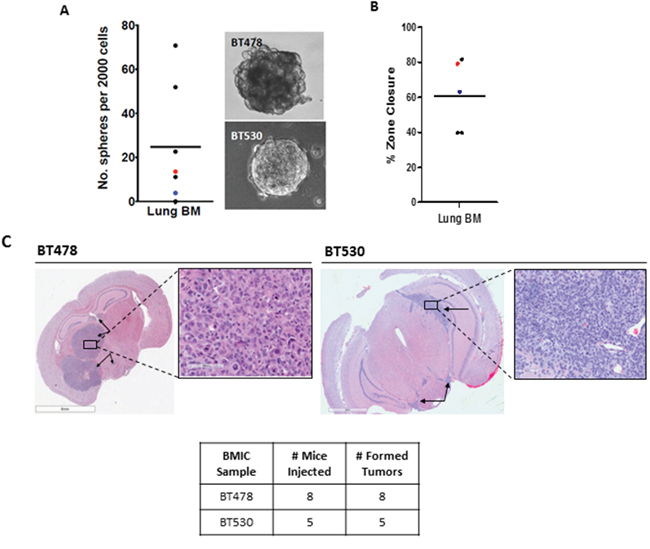 Brain metastases (BM) from the lung possess a cancer stem cell (CSC) population in vitro and possess tumor-initiating cell (TIC) populations in vivo.