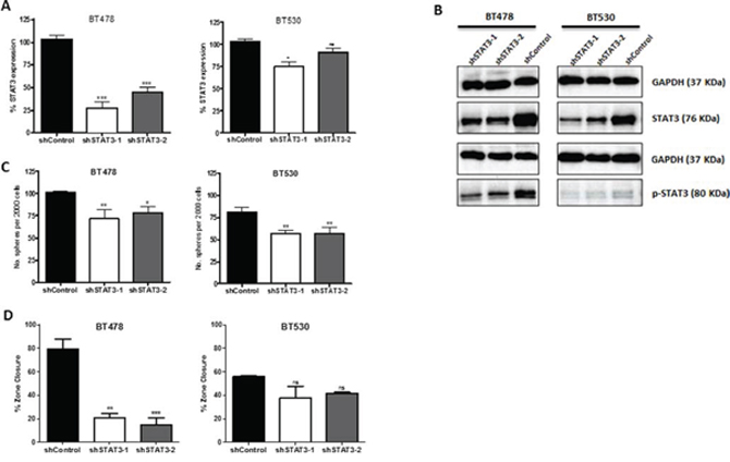 Knockdown of STAT3 demonstrates potential regulatory role in self-renewal and metastasis.