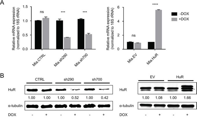 Characterization of DOX-inducible MIA PaCa-2 cell lines.