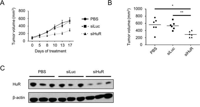 Lipidoid-delivered HuR siRNA suppresses established PDA xenograft growth.