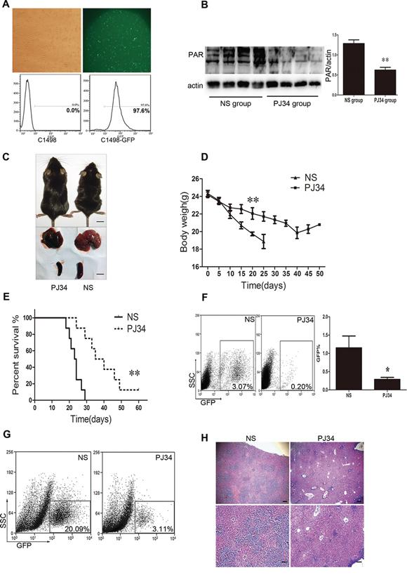 PARP-1 inhibition improves AML prognosis in vivo in AML mice.