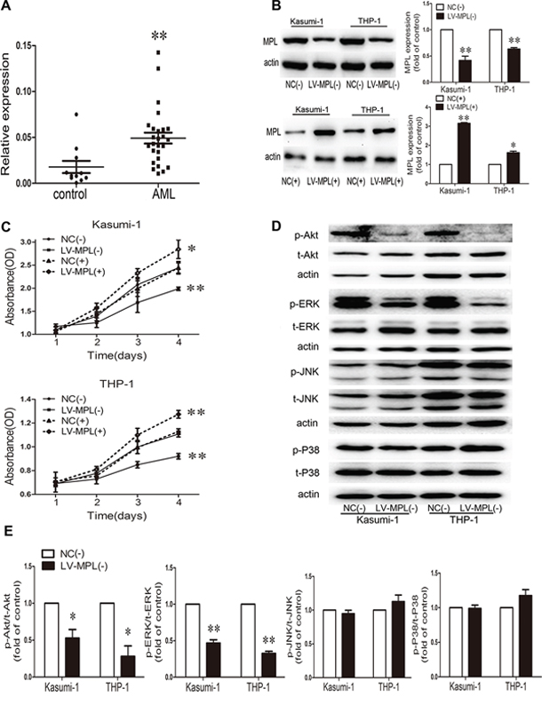 High expression of the myeloproliferative leukemia virus oncogene (MPL) in AML patients and MPL sustained malignant proliferation.