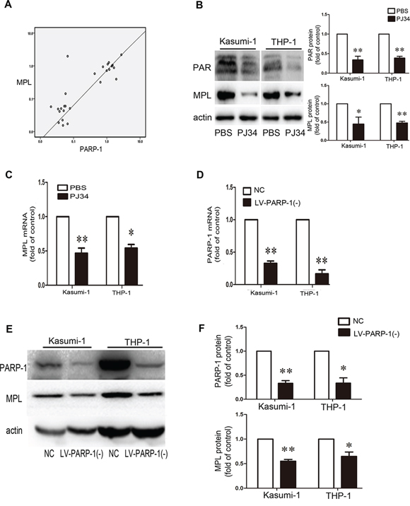 PARP-1 acts on MPL expression.