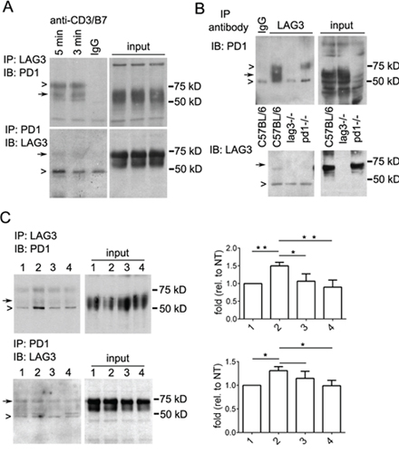 Immunoprecipitation reveals interaction between LAG3 and PD1 in restimulated T cells.