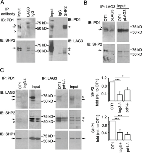 LAG3 associates with PD1-SHP2 or -SHP1 interacting complex.