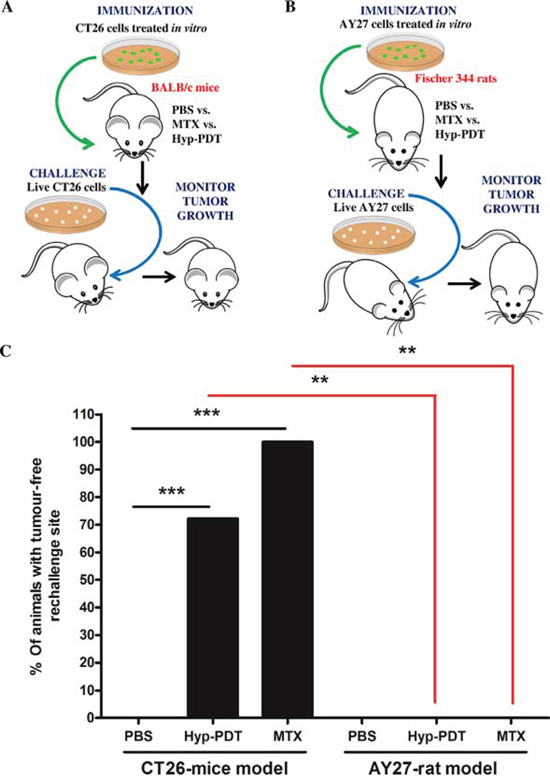 Rat bladder carcinoma AY27 cells exhibit resistance to 'anticancer vaccination effect' associated with ICD inducers.
