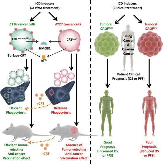 Overall endogenous CRT levels within cancer/tumoural cells dictate the in vivo anti-cancer vaccination effect and clinical efficacy of ICD-inducing anticancer therapies.