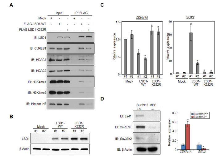 Methylation of LSD1 at lysine 322 is critical for its binding to CoREST, and regulating targeted genes.