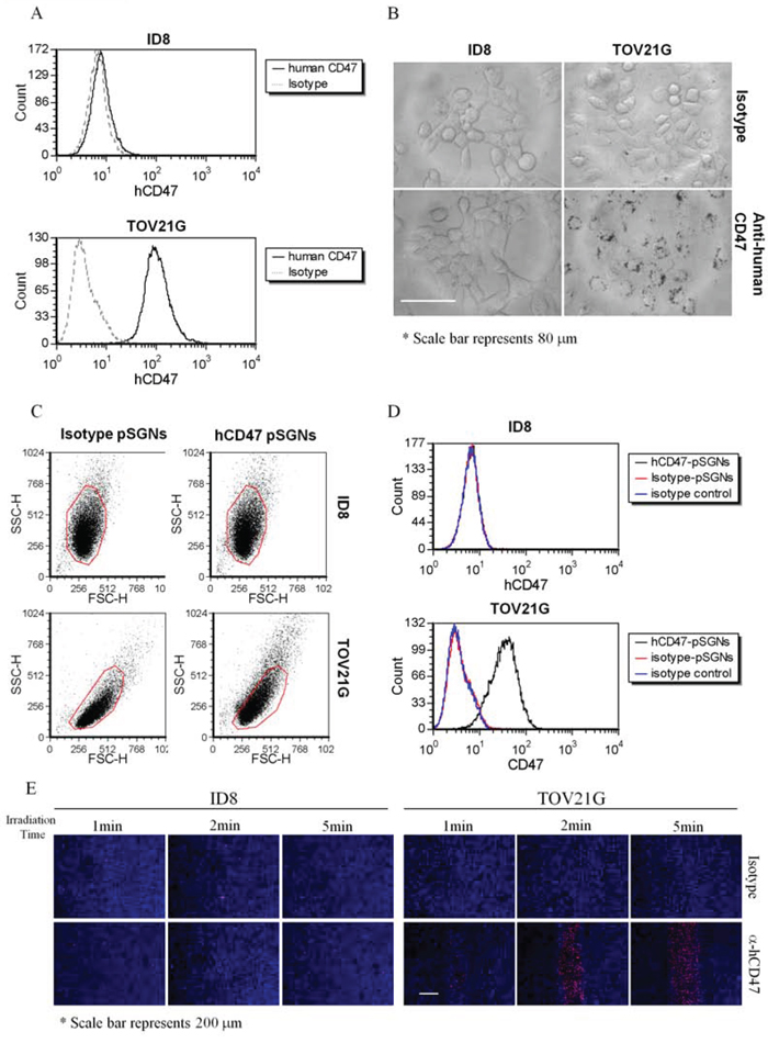 Specific cell binding of anti-human CD47 antibody-conjugated pSGNs.