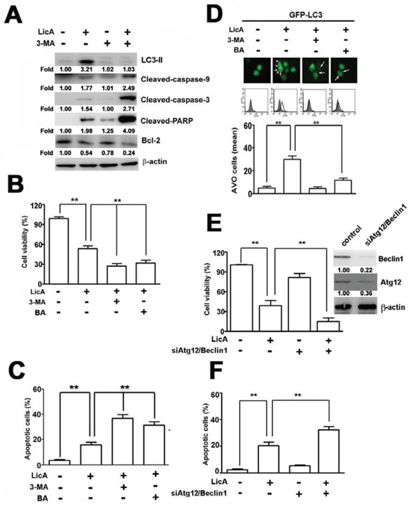 Autophagy decreased LicA-induced apoptosis in SiHa cervical cancer cells.