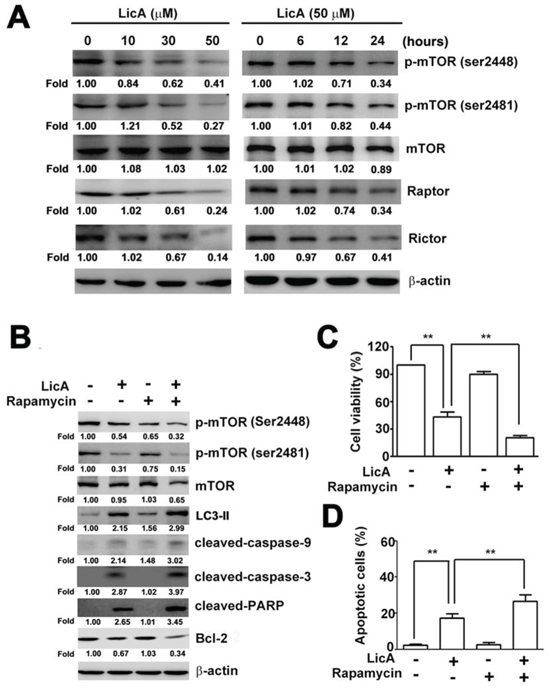 LicA-induced apoptosis and autophagy via the mTOR pathway.