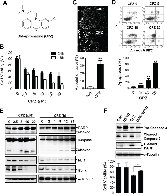 Induction of apoptosis in human CRC cells by CPZ.
