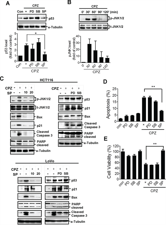 JNK activation is involved in CPZ-mediated p53 expression.