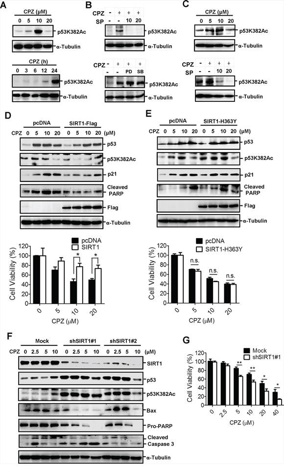Induction of p53 acetylation at Lys382 by CPZ, which was attenuated by SIRT1 expression.
