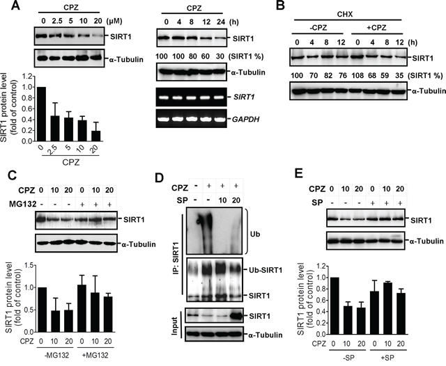Induction of SIRT1 protein degradation by CPZ.