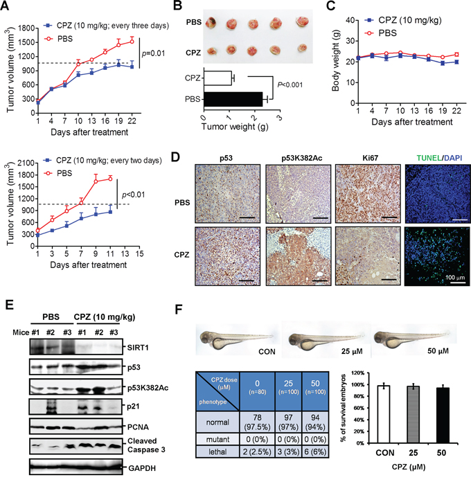 Suppression of colon cancer growth in vivo by CPZ.