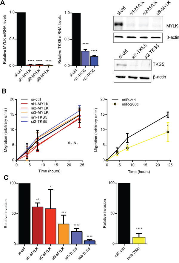 Inhibition of MYLK and TKS5 attenuates cancer cell invasion.