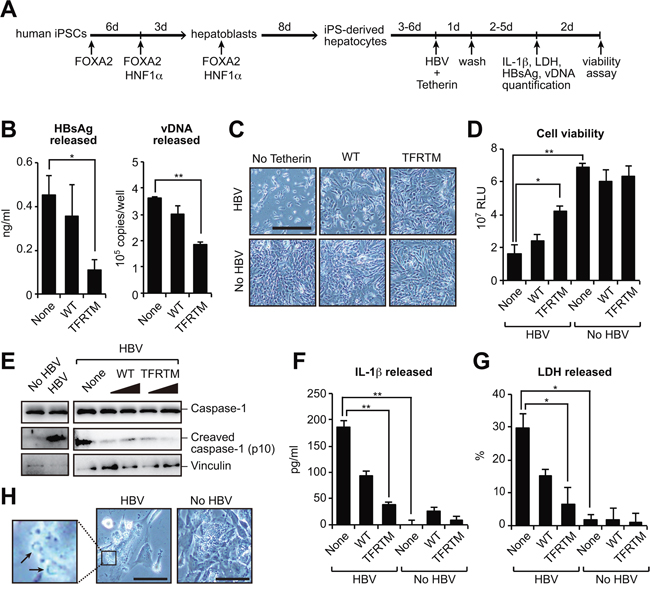 Transduction of TFRTM tetherin inhibits virus-induced cytotoxicity in iPSC-derived hepatocytes.