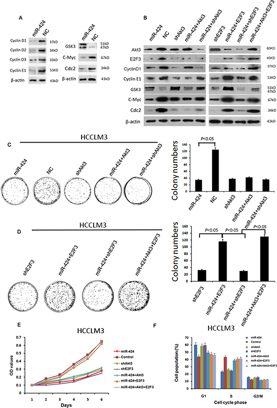 miR-424 represses the expression of cell cycle/E2F signaling.