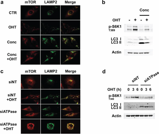 Inhibition of v-ATPase activity represses E2F1-induced mTORC1 activation and lysosomal trafficking.