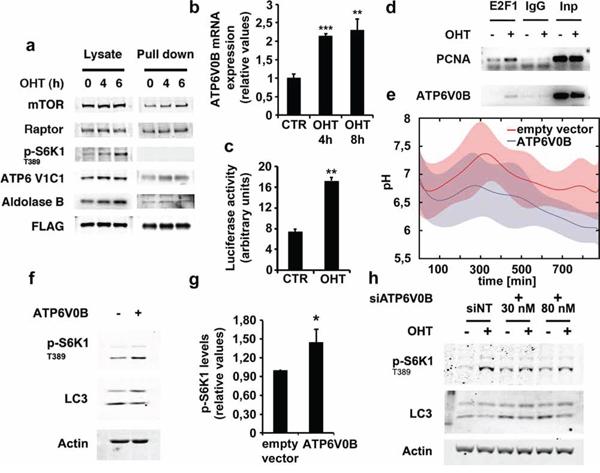 E2F1 induces ATP6V1C1 association to RagB lysosomal complex and ATP6V0B expression.
