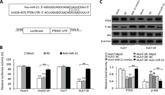 MiR-21 regulates PTEN expression and Akt activation in sorafenib-resistant cells.