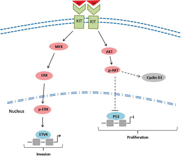 A scheme showing the potential role of c-kit signaling in the development of CRMAC.