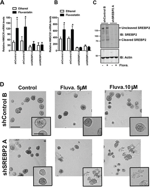 Knockdown of SREBP2 abrogates the sterol-feedback loop and impairs 3D growth upon fluvastatin treatment.