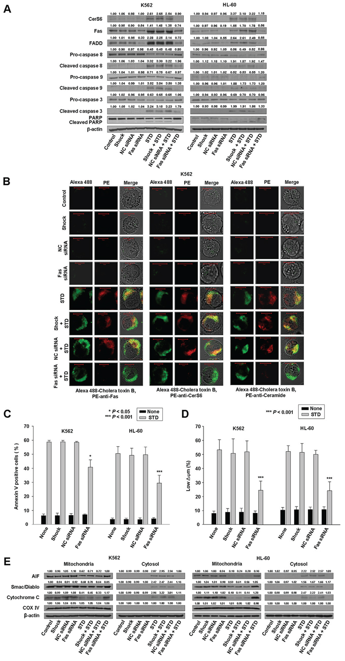 Knockdown of Fas can inhibit STD-induced apoptosis in K562 and HL-60 cells.