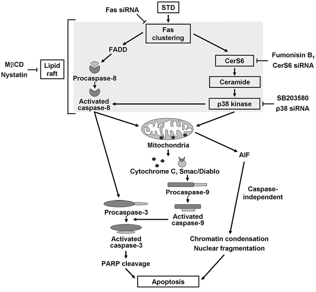 Possible molecular mechanisms of STD-induced apoptosis in human leukemia cells.
