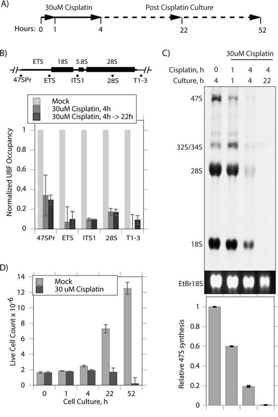 Cisplatin coordinately displaces UBF from the rRNA genes and arrests their transcription.