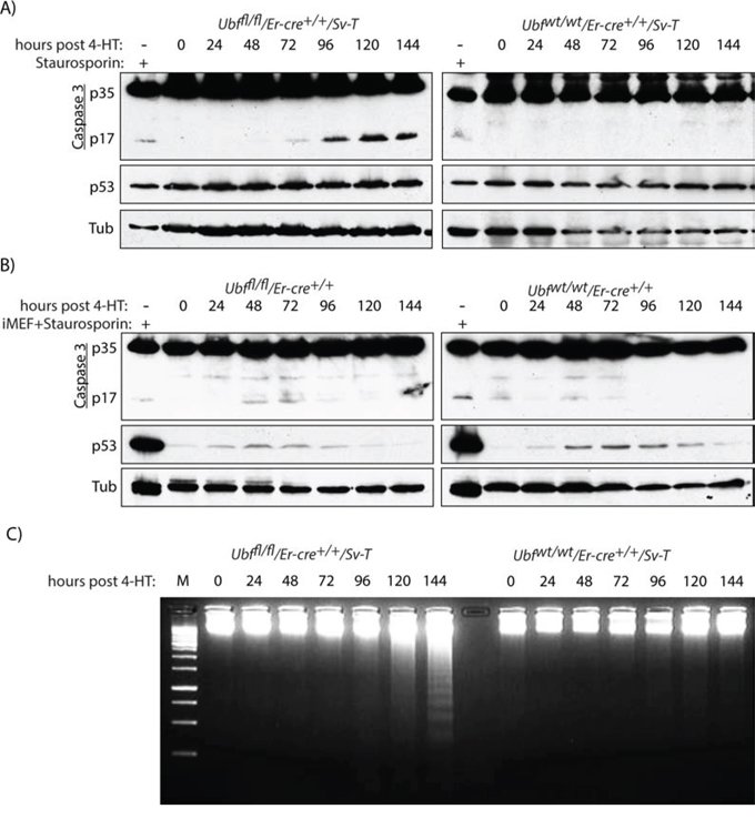 UBF loss induces selective Caspase 3 cleavage in transformed iMEFs cells.