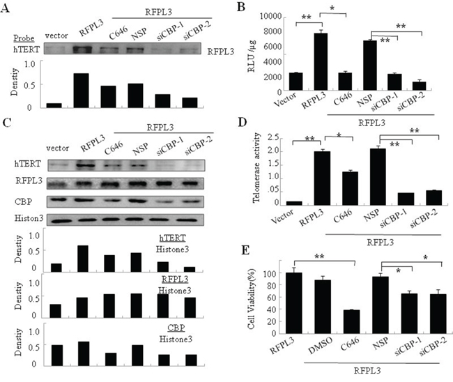 The synergistic regulation of hTERT promoter activity, hTERT expression, telomerase activity and cell proliferation in H1299 cells with overexpression of RFPL3 and low expression of CBP.