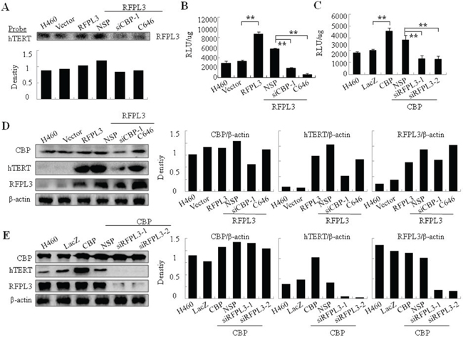 The synergistic regulation of hTERT promoter activity and hTERT expression in H460 cells by CBP and RFPL3.