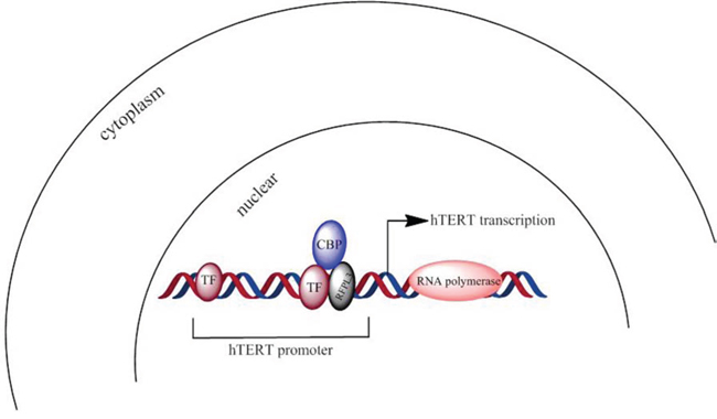 A scheme about RFPL3 and CBP's co-anchoring at hTERT promoter region and synergistic regulation on hTERT transcription.