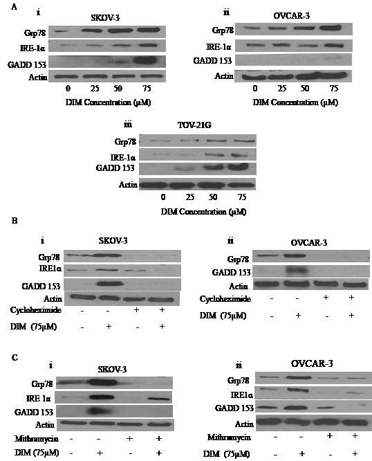 DIM induces ER stress in ovarian cancer cells: A) Representative blots showing the concentration dependent effect of DIM on Grp78, IRE1 and GADD153 in i) SKOV-3, ii) OVCAR-3 and iii) TOV-21G cells.