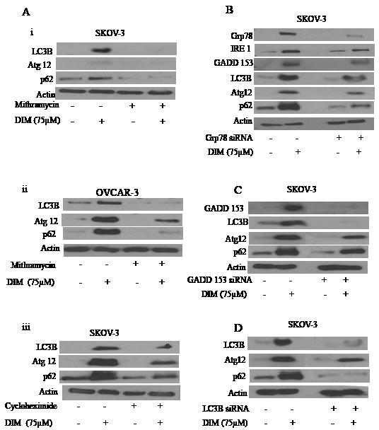 ER stress regulates DIM induced autophagy.