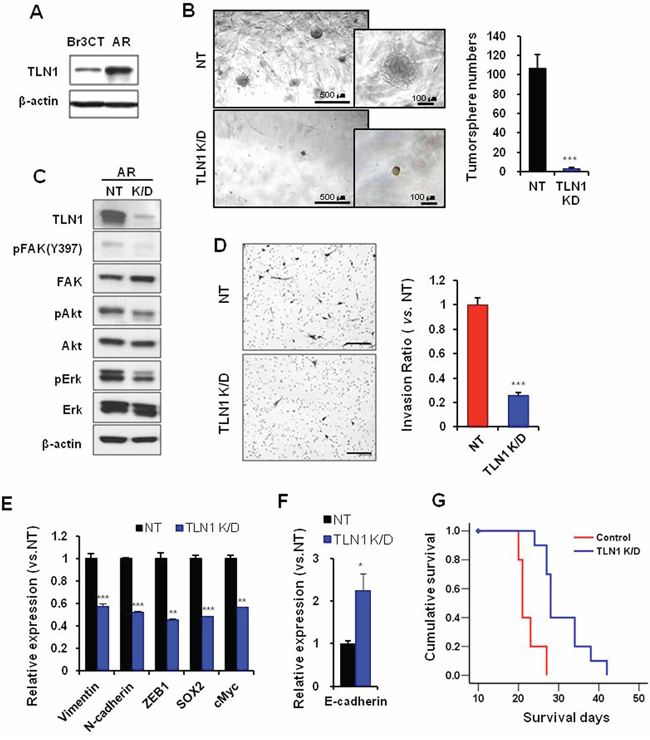 Effects of TLN1 inhibition on acquired malignant progression by bevacizumab treatment.